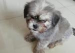 寻狗启示免费发布平台,寻爱犬混血雪纳瑞