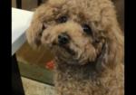 寻狗启示免费发布平台,求助4月22,8岁棕色泰迪公狗走失