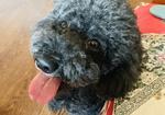 寻狗启示免费发布平台,急寻黑色泰迪狗