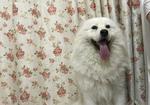 寻狗启示免费发布平台,【重金】3月11号在秀强大桥下公园走失萨摩耶一条