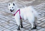 寻狗启示免费发布平台,萨摩耶寻狗启示