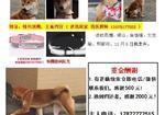 寻狗启示免费发布平台,重金寻找黄色小母柴犬