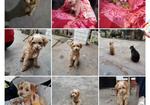寻狗启示免费发布平台,寻狗启事  带有一条红色牵引绳