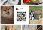 寻狗启示免费发布平台,博美狗狗被人抱走