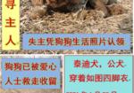 寻狗启示免费发布平台,泰迪寻主人(北京昌平区小汤山镇大赴任村)