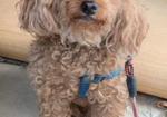 寻狗启示免费发布平台,北京大兴区西红门寻找泰迪狗主人